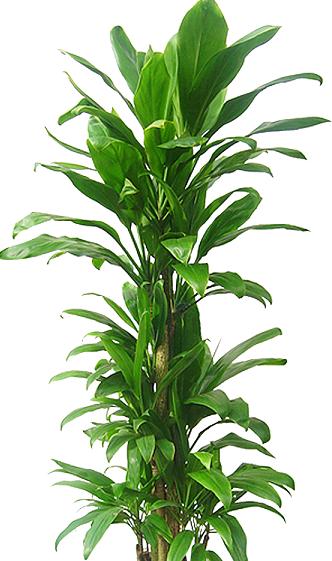 ハワイでは神聖な植物 ーヒロハドラセナー