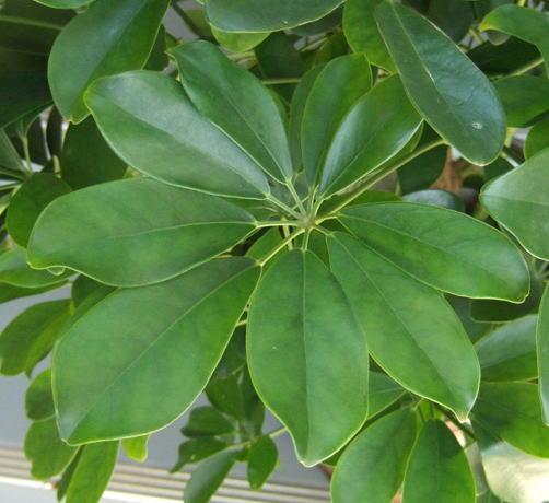 原種の繊維はエコロジー素材としても注目 ーカポックー