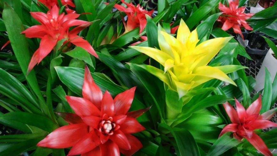 夏の季節に色鮮やかな観葉植物を - グズマニア ―