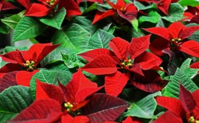 クリスマスにポインセチアを飾る理由